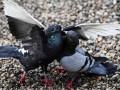 Штраф за кормление голубей введен в Магадане