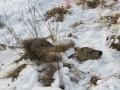Незаконную охоту на косулю выявили в Хангаласском районе Якутии