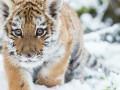 Амурского тигренка застрелили браконьеры в Приморье