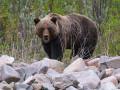 Житель Якутии, на которого напал медведь, доставлен в больницу в тяжелом состоянии