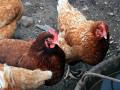 Свыше десятка кур похитили у жительницы Мирнинского района Якутии