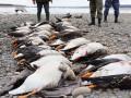 Якутские охотники добыли 30 гусей и уток, занесенных в Красную Книгу РФ
